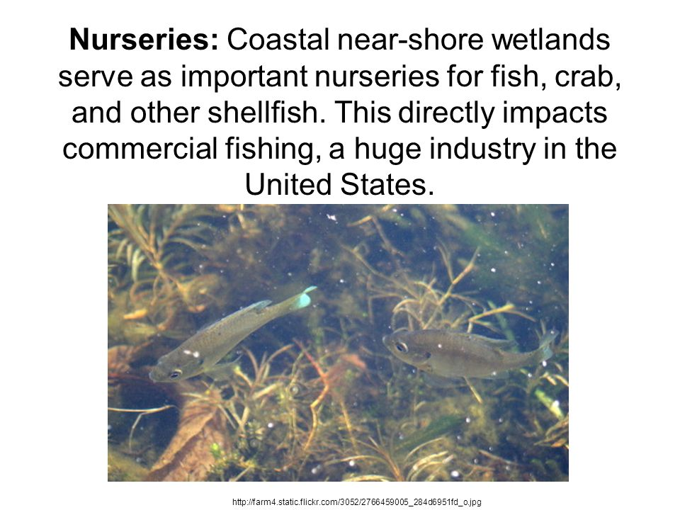 Nurseries: Coastal near-shore wetlands serve as important nurseries for fish, crab, and other shellfish. This directly impacts commercial fishing, a h