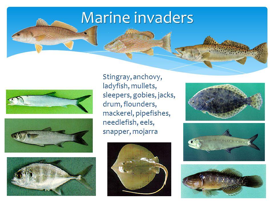 Marine invaders Stingray, anchovy, ladyfish, mullets, sleepers, gobies, jacks, drum, flounders, mackerel, pipefishes, needlefish, eels, snapper, mojar