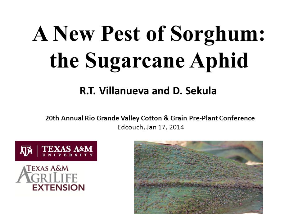 A New Pest of Sorghum: the Sugarcane Aphid R.T. Villanueva and D.