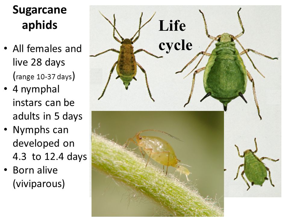 Sugarcane aphids All females and live 28 days ( range 10-37 days ) 4 nymphal instars can be adults in 5 days Nymphs can developed on 4.3 to 12.4 days Born alive (viviparous) Life cycle