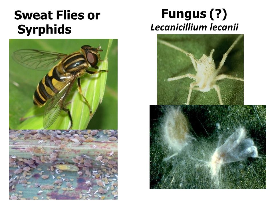 Sweat Flies or Syrphids Fungus ( ) Lecanicillium lecanii