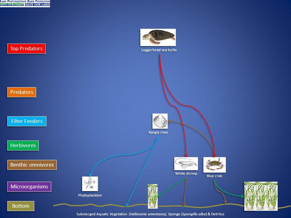 Microorganisms Phytoplankton Filter Feeders Bottom Submerged Aquatic Vegetation (Vallisneria americana), Sponge (Spongilla alba) & Detritus Benthic omnivores Predators Top Predators Herbivores Loggerhead sea turtle Blue crab Rangia clam White shrimp