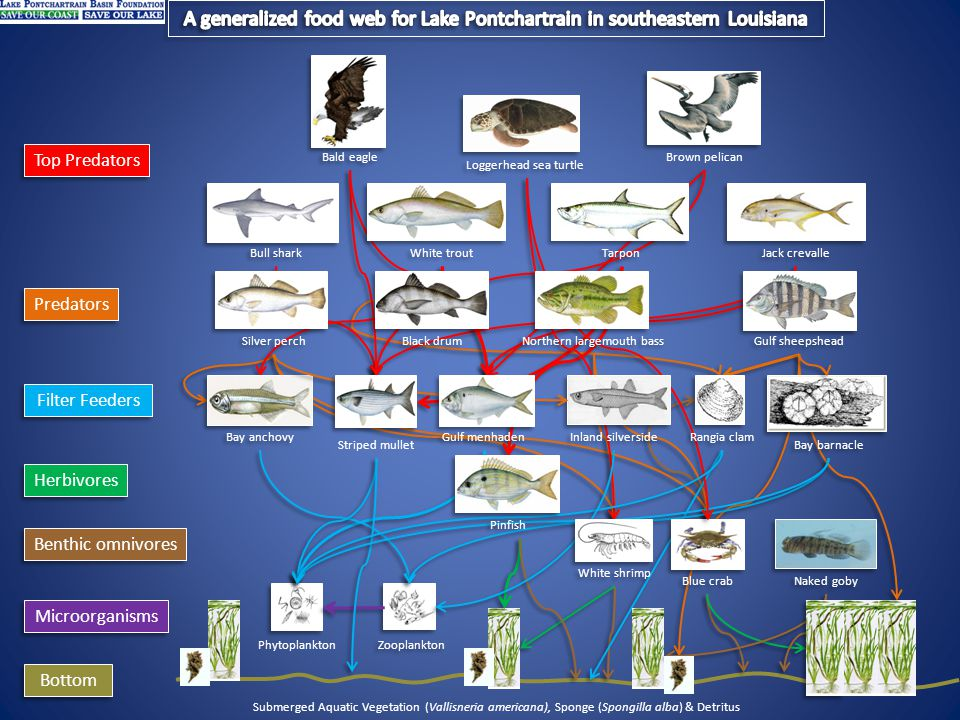 Microorganisms Filter Feeders Bottom Submerged Aquatic Vegetation (Vallisneria americana), Sponge (Spongillus lacustris) & Detritus Benthic omnivores Predators Top Predators Herbivores Naked goby