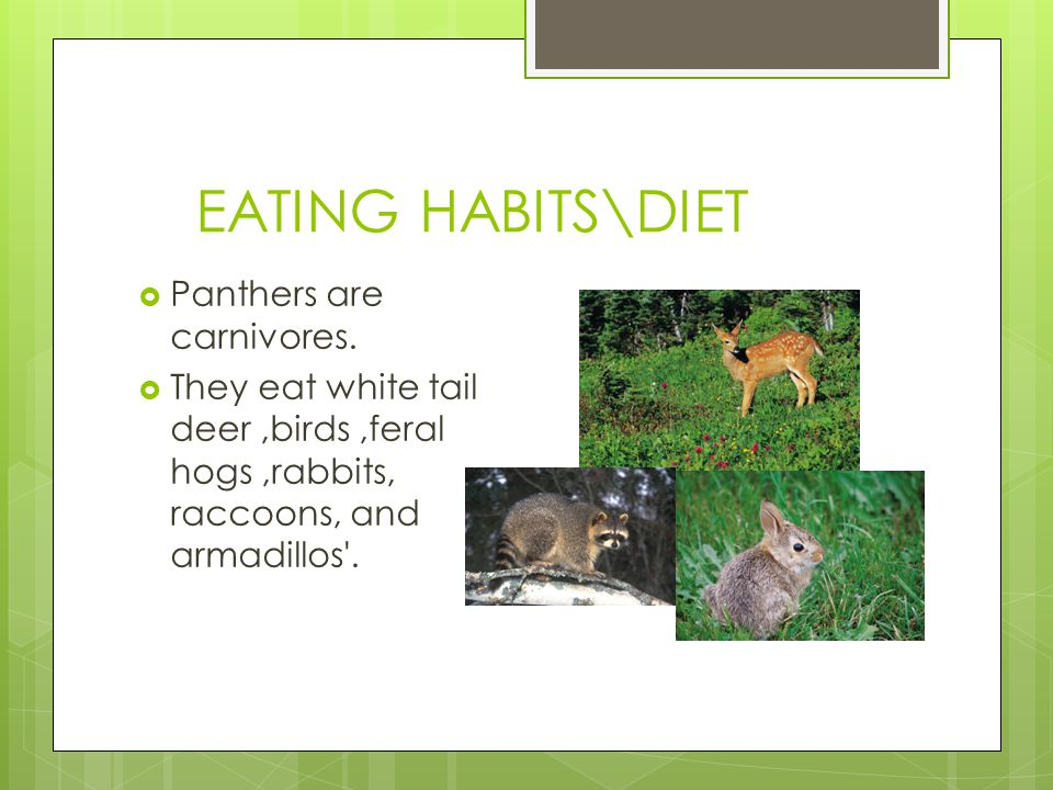EATING HABITS\DIET  Panthers are carnivores.