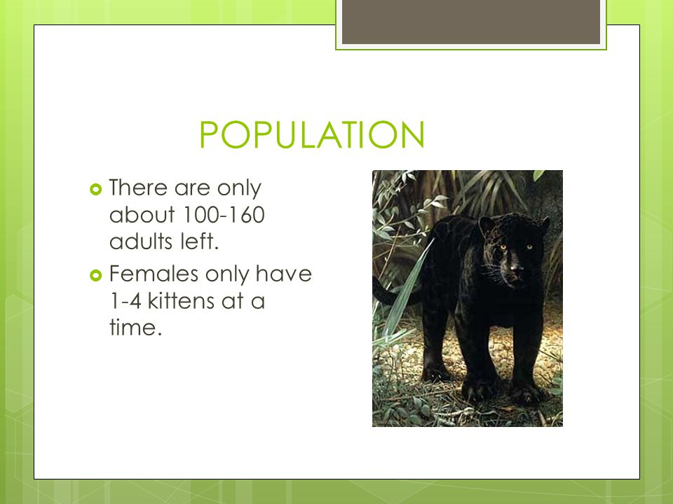 POPULATION  There are only about 100-160 adults left.  Females only have 1-4 kittens at a time.
