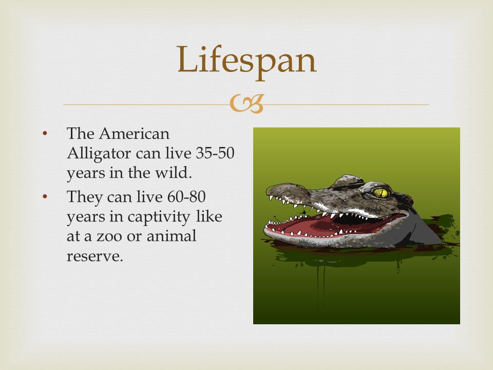  Lifespan The American Alligator can live 35-50 years in the wild.