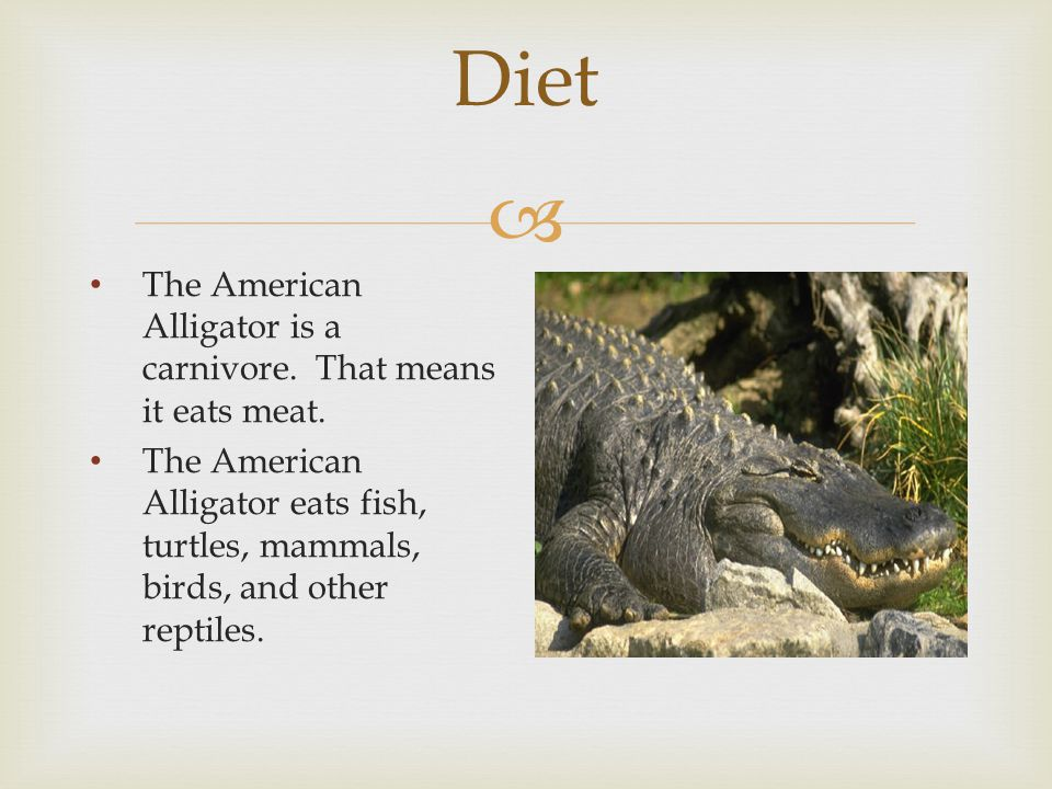  Diet The American Alligator is a carnivore. That means it eats meat.
