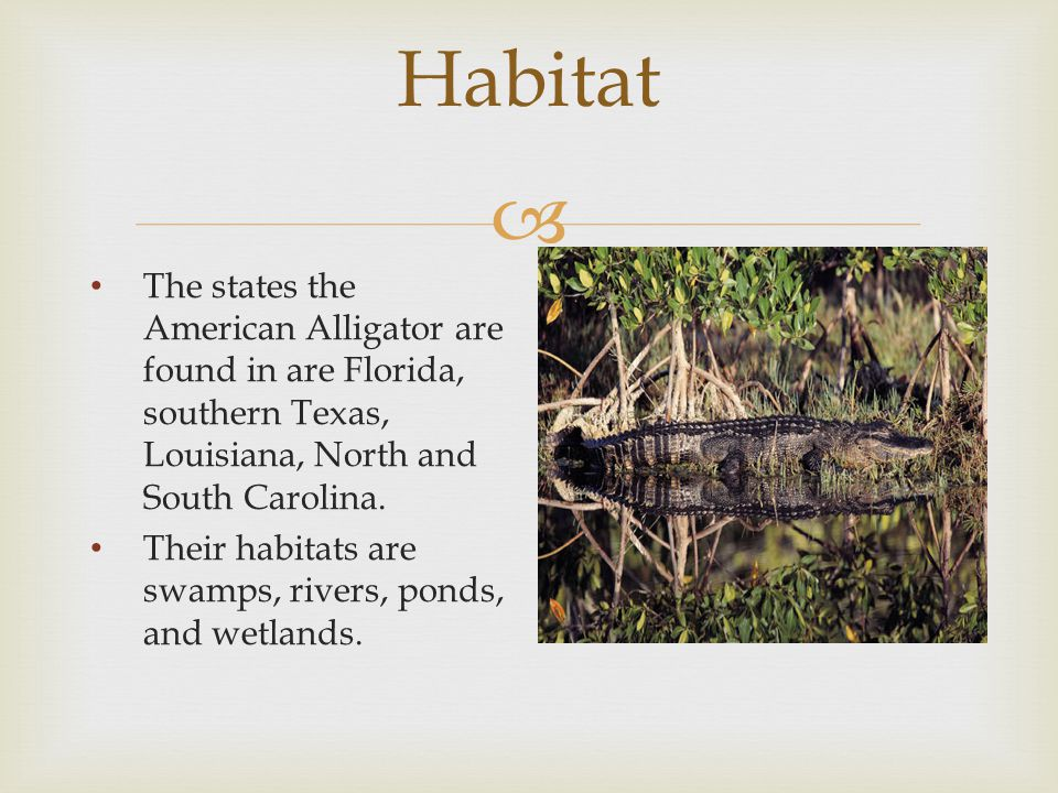  Habitat The states the American Alligator are found in are Florida, southern Texas, Louisiana, North and South Carolina. Their habitats are swamps,