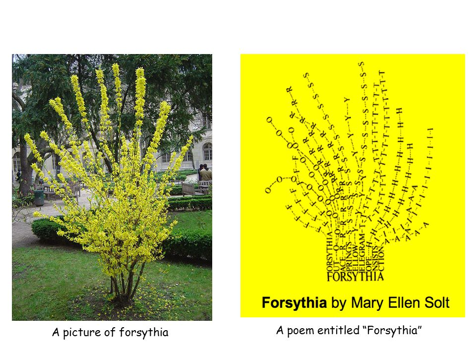 """A picture of forsythia A poem entitled """"Forsythia"""""""