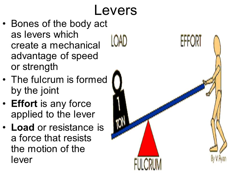 Levers Bones of the body act as levers which create a mechanical advantage of speed or strength The fulcrum is formed by the joint Effort is any force applied to the lever Load or resistance is a force that resists the motion of the lever
