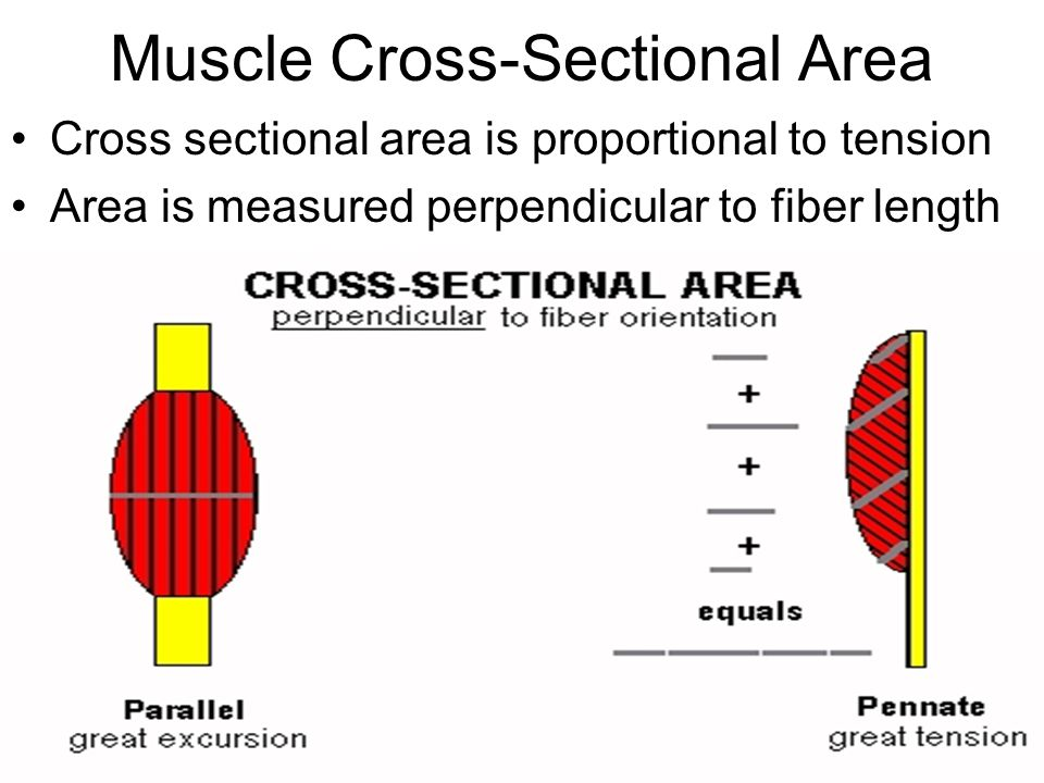 Muscle Cross-Sectional Area Cross sectional area is proportional to tension Area is measured perpendicular to fiber length