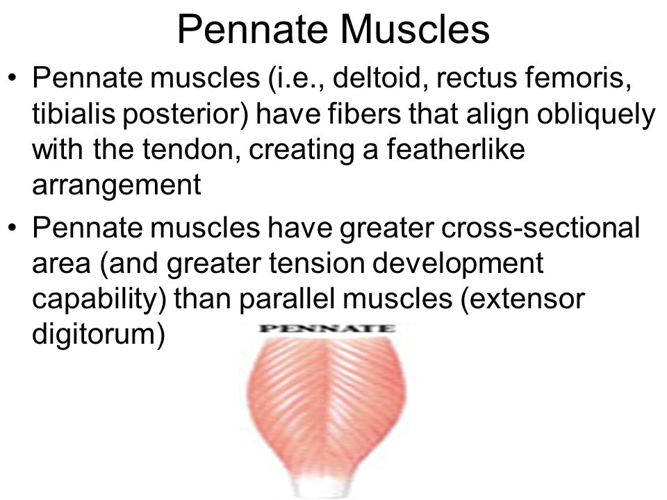 Pennate Muscles Pennate muscles (i.e., deltoid, rectus femoris, tibialis posterior) have fibers that align obliquely with the tendon, creating a featherlike arrangement Pennate muscles have greater cross-sectional area (and greater tension development capability) than parallel muscles (extensor digitorum)