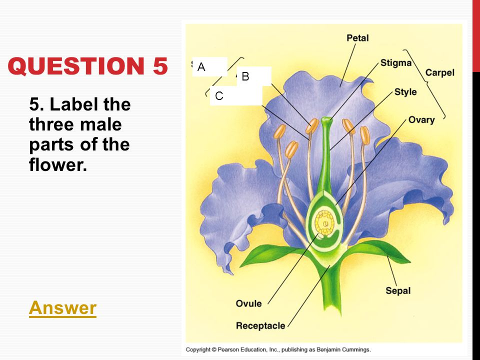 QUESTION 5 5. Label the three male parts of the flower. Answer B C A