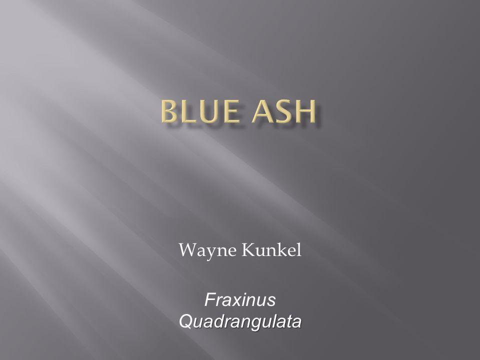 Wayne Kunkel uadrangulata Fraxinus Quadrangulata