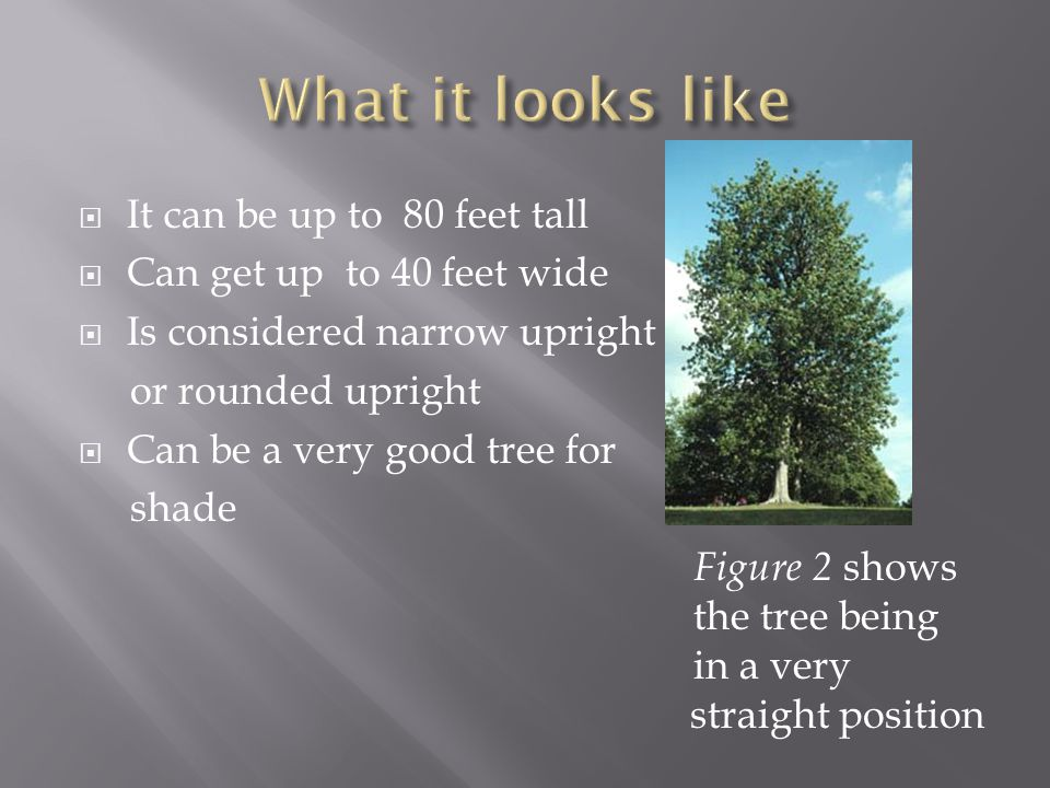  It can be up to 80 feet tall  Can get up to 40 feet wide  Is considered narrow upright or rounded upright  Can be a very good tree for shade Figure 2 shows the tree being in a very straight position