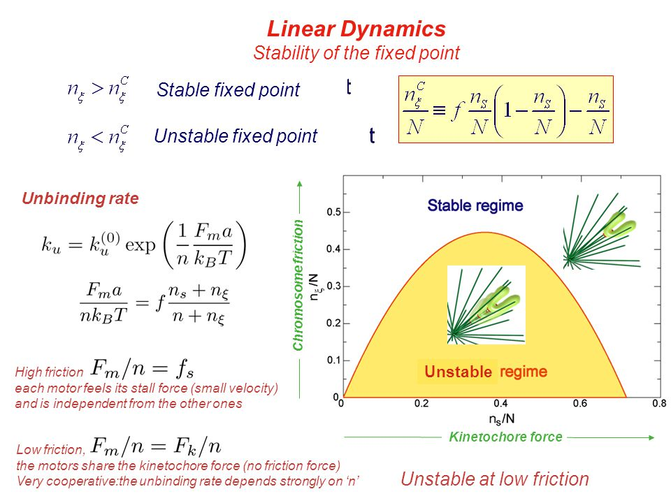Linear Dynamics Stability of the fixed point Stable fixed point Unstable fixed point Unstable Chromosome friction Kinetochore force Unbinding rate High friction each motor feels its stall force (small velocity) and is independent from the other ones Low friction, the motors share the kinetochore force (no friction force) Very cooperative:the unbinding rate depends strongly on 'n' Unstable at low friction