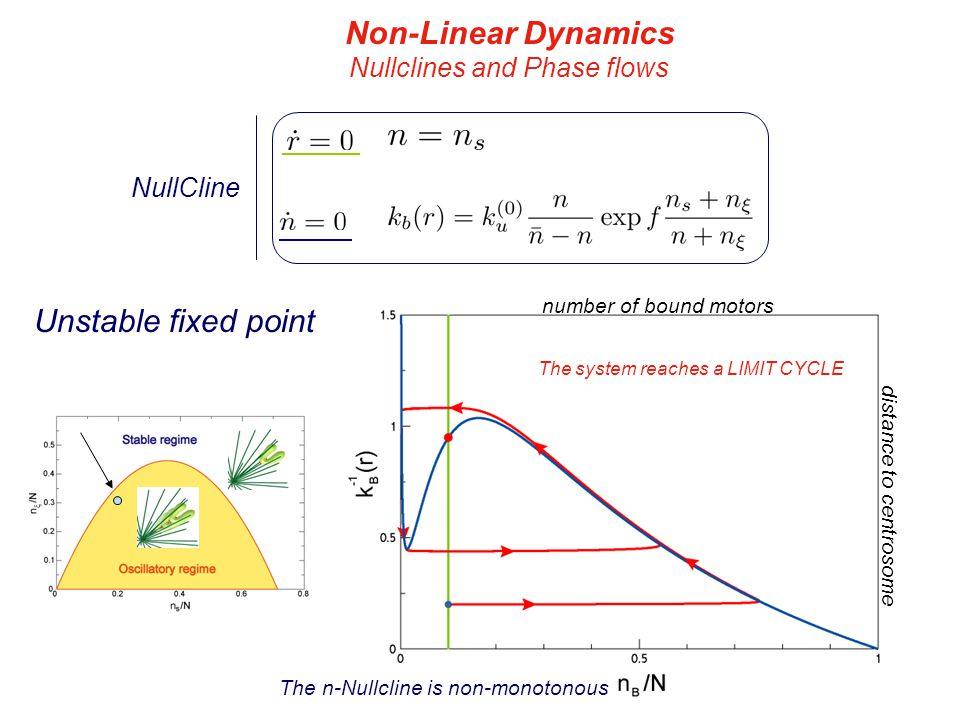 distance to centrosome number of bound motors distance to centrosome number of bound motors Unstable fixed point Non-Linear Dynamics Nullclines and Phase flows NullCline The n-Nullcline is non-monotonous The system reaches a LIMIT CYCLE
