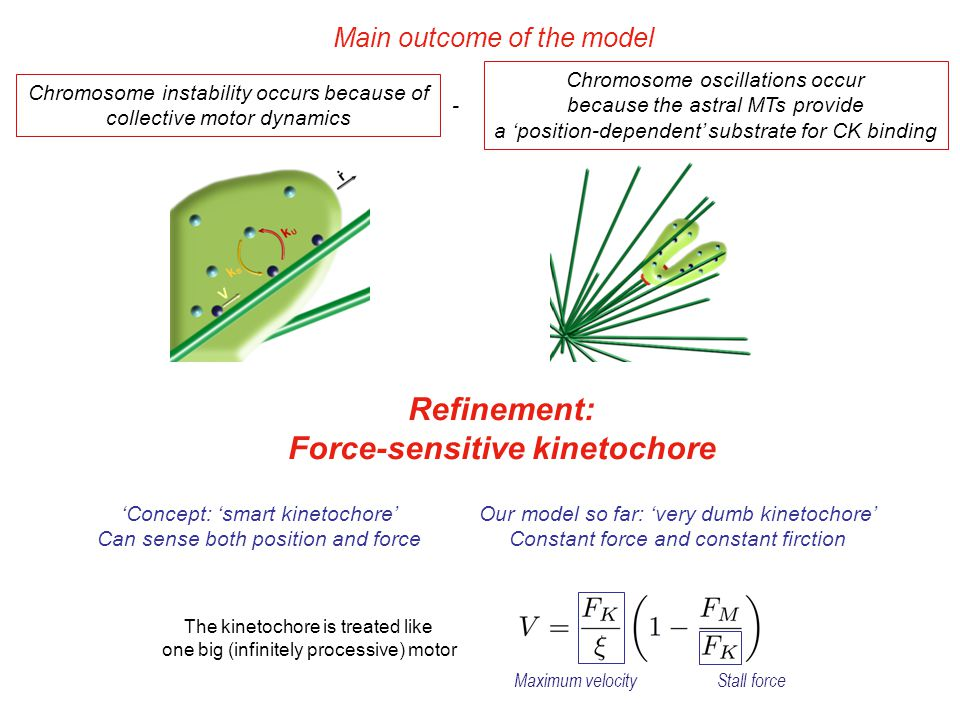 Chromosome instability occurs because of collective motor dynamics Chromosome oscillations occur because the astral MTs provide a 'position-dependent' substrate for CK binding - The kinetochore is treated like one big (infinitely processive) motor Maximum velocityStall force Main outcome of the model Refinement: Force-sensitive kinetochore 'Concept: 'smart kinetochore' Can sense both position and force Our model so far: 'very dumb kinetochore' Constant force and constant firction