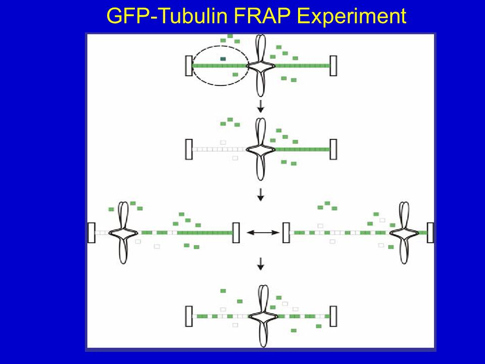 GFP-Tubulin FRAP Experiment