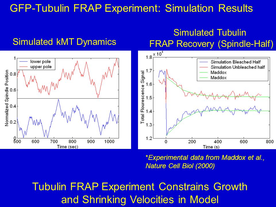 Simulated kMT Dynamics Simulated Tubulin FRAP Recovery (Spindle-Half) GFP-Tubulin FRAP Experiment: Simulation Results *Experimental data from Maddox et al., Nature Cell Biol (2000) Tubulin FRAP Experiment Constrains Growth and Shrinking Velocities in Model