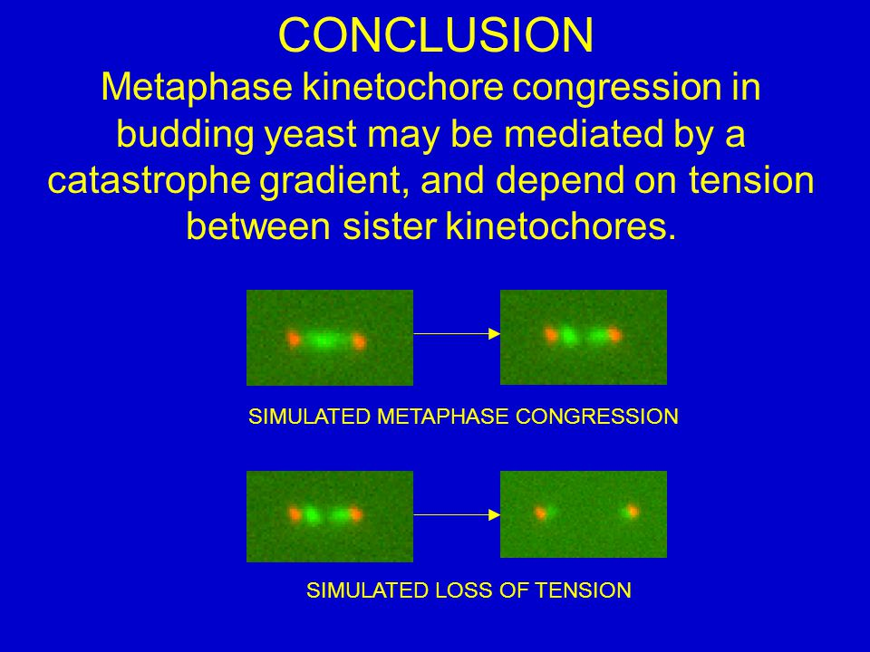 CONCLUSION Metaphase kinetochore congression in budding yeast may be mediated by a catastrophe gradient, and depend on tension between sister kinetochores.