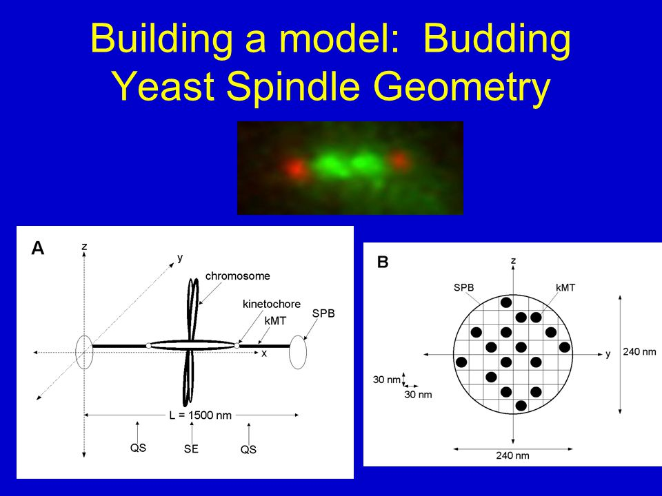 Building a model: Budding Yeast Spindle Geometry