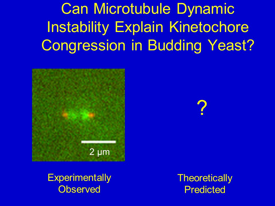 Can Microtubule Dynamic Instability Explain Kinetochore Congression in Budding Yeast.