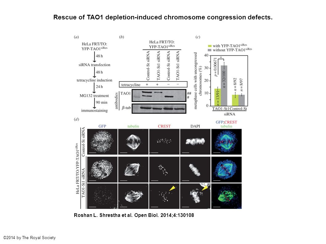 Rescue of TAO1 depletion-induced chromosome congression defects.