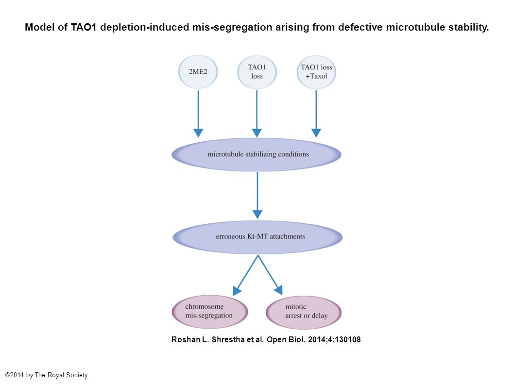Model of TAO1 depletion-induced mis-segregation arising from defective microtubule stability.
