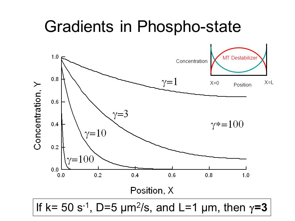 Gradients in Phospho-state If k= 50 s -1, D=5 µm 2 /s, and L=1 µm, then  =3 MT Destabilizer Position Concentration X=0 X=L