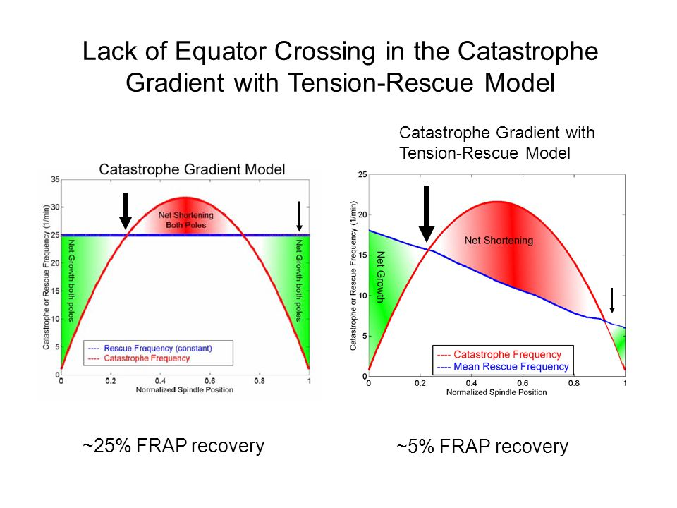 Catastrophe Gradient with Tension-Rescue Model Lack of Equator Crossing in the Catastrophe Gradient with Tension-Rescue Model ~25% FRAP recovery ~5% FRAP recovery