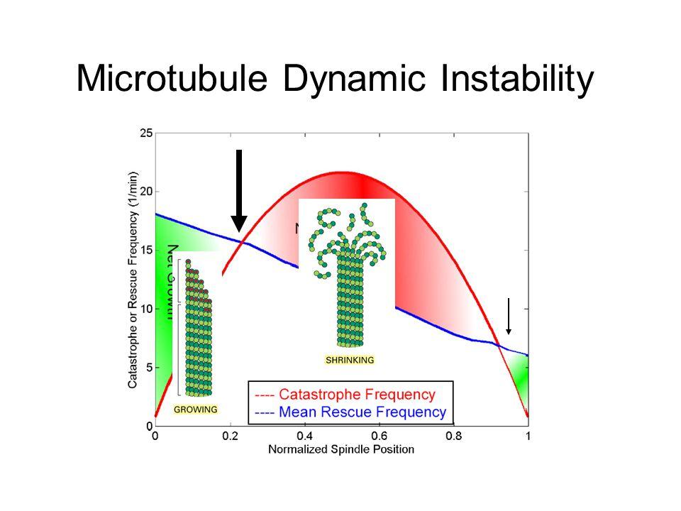 Microtubule Dynamic Instability