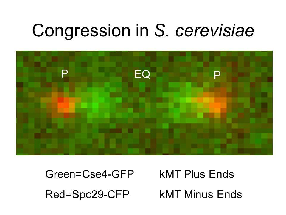 WT Stu2p-depleted Pearson et al., Mol. Biol. Cell, 2003 Stu2p-mediated catastrophe gradient?