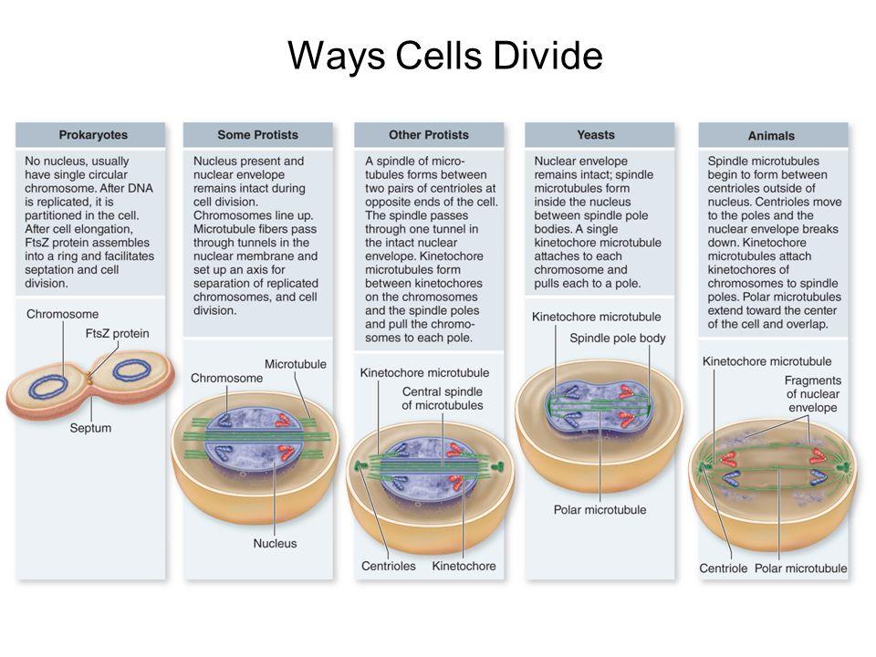Ways Cells Divide