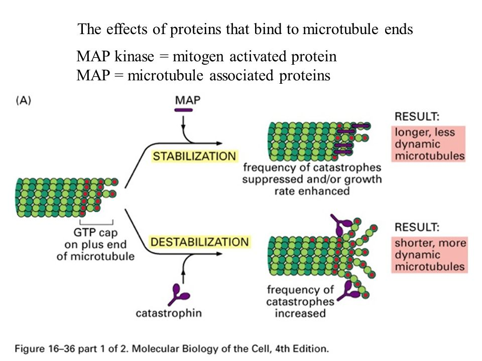 The effects of proteins that bind to microtubule ends MAP kinase = mitogen activated protein MAP = microtubule associated proteins