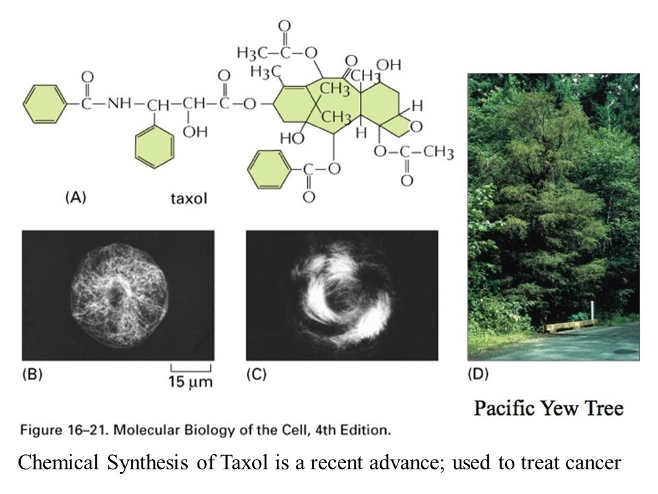 Chemical Synthesis of Taxol is a recent advance; used to treat cancer