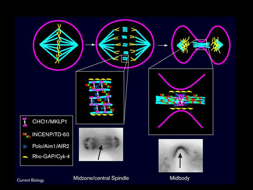 F09C3.1-IQGAP WT gonad -midfocal plane F09C3.1 RNAi -midfocal plane An example of a gonad cytokinesis defect