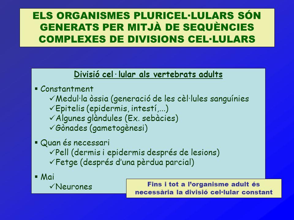 ELS ORGANISMES PLURICEL·LULARS SÓN GENERATS PER MITJÀ DE SEQUÈNCIES COMPLEXES DE DIVISIONS CEL·LULARS Divisió cel·lular als vertebrats adults  Consta