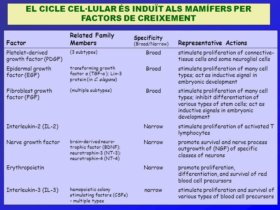 EL CICLE CEL·LULAR ÉS INDUÏT ALS MAMÍFERS PER FACTORS DE CREIXEMENT Factor Related Family Members Specificity (Broad/Narrow) Representative Actions Platelet-derived growth factor (PDGF) (3 subtypes) Broadstimulate proliferation of connective- tissue cells and some neuroglial cells Epidermal growth factor (EGF) transforming growth factor α (TGF-α ); Lin-3 protein (in C.