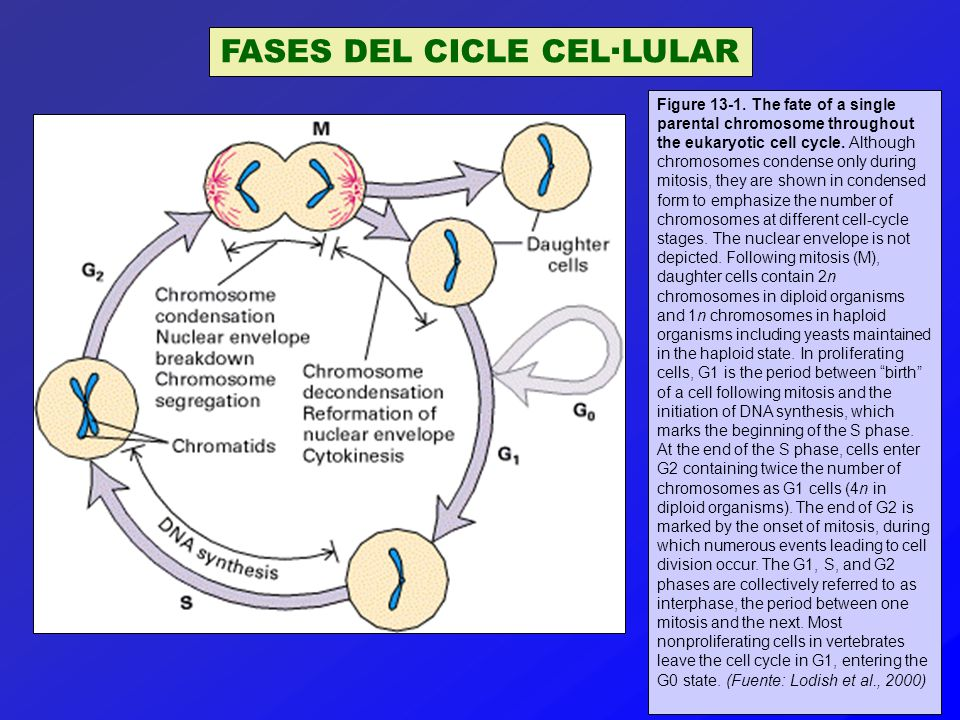 ELS FACTORS DE CREIXEMENT ACTIVEN LA TRANSCRIPCIÓ DE GENS D'EXPRESSIÓ IMMEDIATA Figure 17-45.
