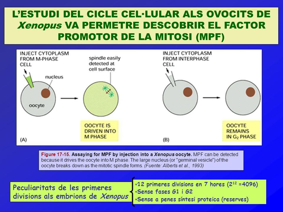 L'ESTUDI DEL CICLE CEL·LULAR ALS OVOCITS DE Xenopus VA PERMETRE DESCOBRIR EL FACTOR PROMOTOR DE LA MITOSI (MPF) Figure 17-15. Assaying for MPF by inje