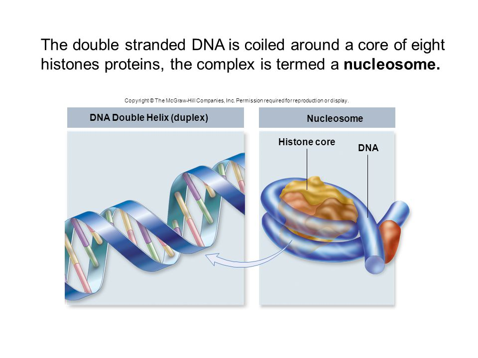 DNA Double Helix (duplex) Nucleosome Histone core DNA Copyright © The McGraw-Hill Companies, Inc. Permission required for reproduction or display. The
