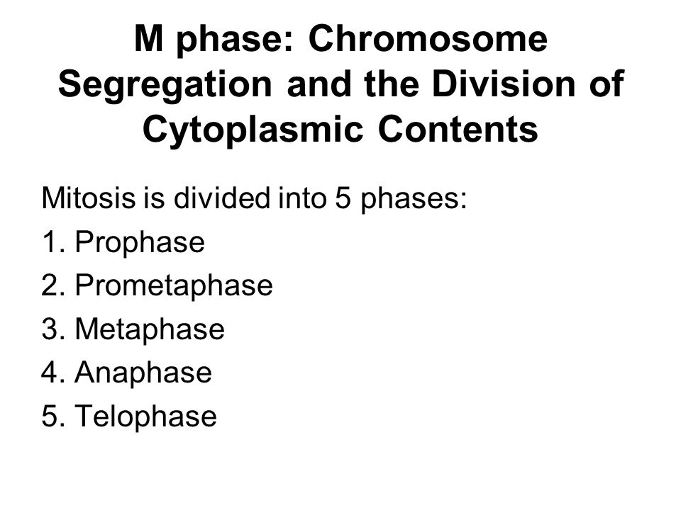 M phase: Chromosome Segregation and the Division of Cytoplasmic Contents Mitosis is divided into 5 phases: 1. Prophase 2. Prometaphase 3. Metaphase 4.
