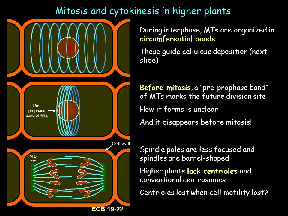 Mitosis and cytokinesis in higher plants During interphase, MTs are organized in circumferential bands These guide cellulose deposition (next slide) S