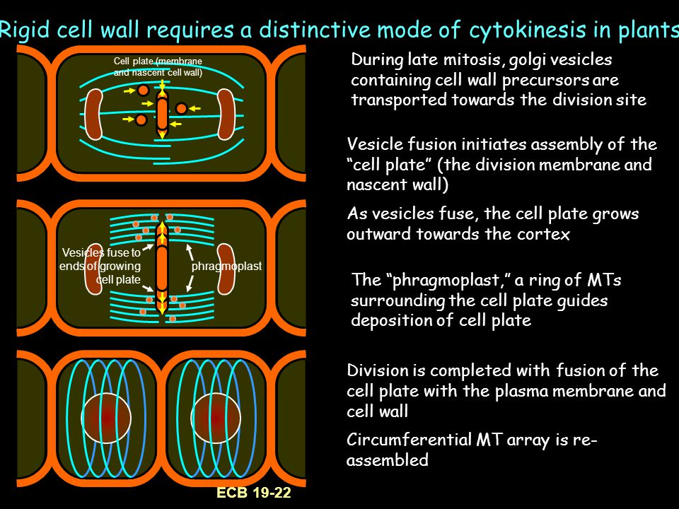Rigid cell wall requires a distinctive mode of cytokinesis in plants Division is completed with fusion of the cell plate with the plasma membrane and