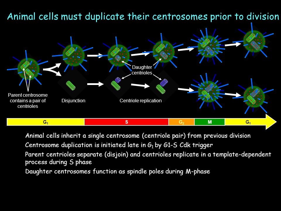 G1G1 G1G1 MG2G2 S Animal cells inherit a single centrosome (centriole pair) from previous division Centrosome duplication is initiated late in G 1 by