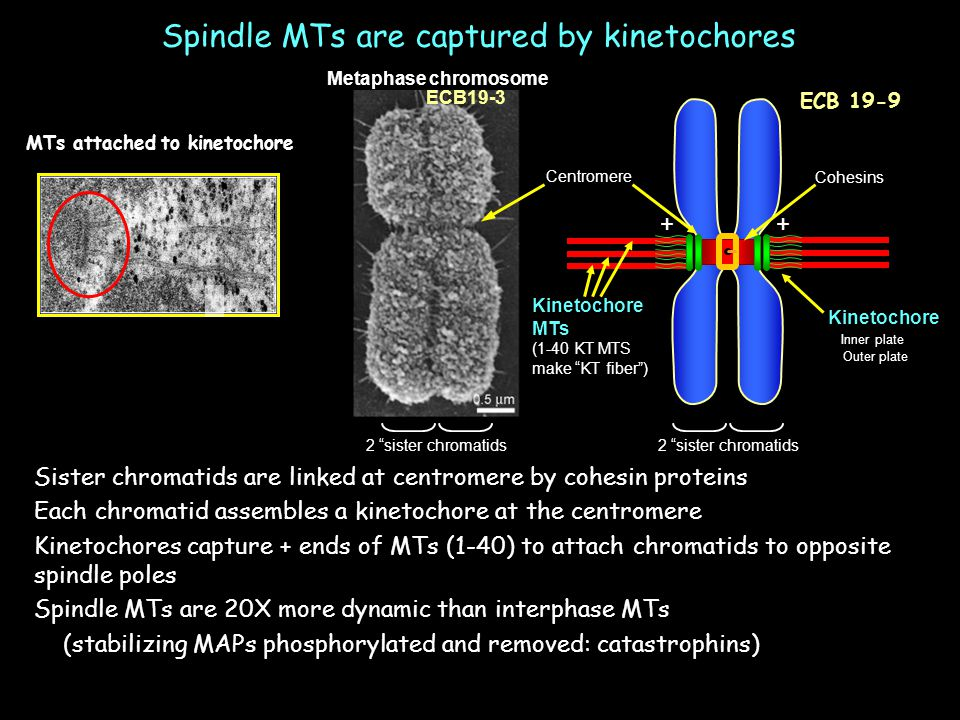 Spindle MTs are captured by kinetochores Sister chromatids are linked at centromere by cohesin proteins Each chromatid assembles a kinetochore at the