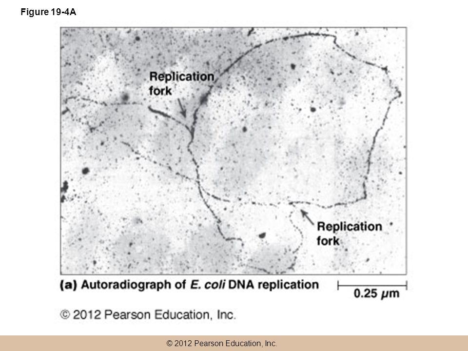 © 2012 Pearson Education, Inc. Figure 19-4A