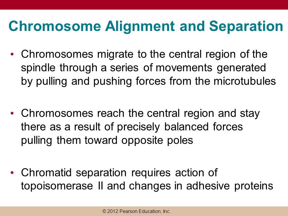 © 2012 Pearson Education, Inc. Chromosome Alignment and Separation Chromosomes migrate to the central region of the spindle through a series of moveme