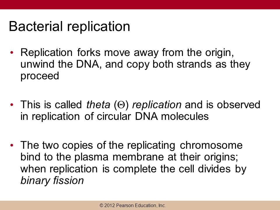 © 2012 Pearson Education, Inc. Bacterial replication Replication forks move away from the origin, unwind the DNA, and copy both strands as they procee